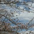 桜まつりまぢか