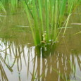 棚田の稲とアマガエル