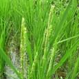 名古木の棚田、稲の花咲く